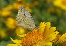 Mariposa de col en la flor amarilla fotografía de archivo