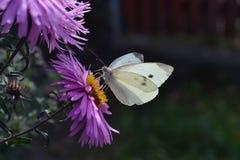 Mariposa de col en la flor púrpura imagenes de archivo
