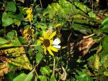Mariposa de col en otoño temprano Fotos de archivo libres de regalías
