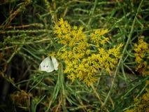 Mariposa de col en otoño temprano fotos de archivo