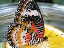 Mariposa de Colorfull Fotografía de archivo