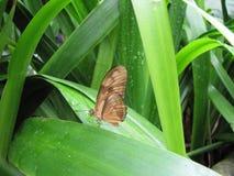 Mariposa de Costa Rica Imagen de archivo libre de regalías