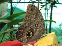 Mariposa de Costa Rican Imagenes de archivo