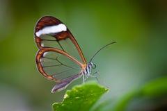 Mariposa de cristal del ala imágenes de archivo libres de regalías