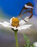 Mariposa de cristal del ala encaramada en una flor Foto de archivo