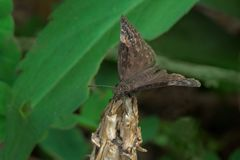 Mariposa de Duskywing del añil salvaje Imágenes de archivo libres de regalías
