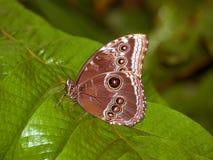 Mariposa de emperador Fotografía de archivo libre de regalías