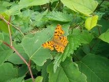 Mariposa de Europa Fotos de archivo