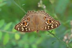 Mariposa de Fansy Fotografía de archivo libre de regalías