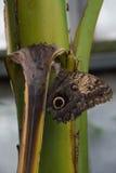Mariposa de Forest Giant Owl en una hoja Imagenes de archivo