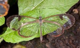 Mariposa de Glasswing Fotos de archivo