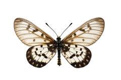 Mariposa de Glasswing Imagen de archivo