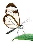 Mariposa de Glasswing aislada Fotos de archivo libres de regalías
