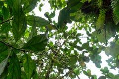 Mariposa de Glasswinged en bosque de la nube de Nicaragua Imágenes de archivo libres de regalías