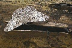 Mariposa de Hamadryas de Belice Fotografía de archivo libre de regalías