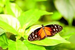 Mariposa de Hecale Longwing en la hoja verde Foto de archivo libre de regalías