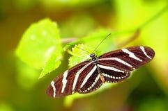 Mariposa de Heliconian de la cebra en la hoja verde Imagenes de archivo