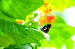Mariposa de Heliconian en fondo borroso Fotos de archivo libres de regalías