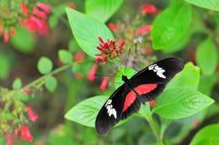 Mariposa de Hortense Fotografía de archivo