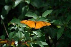 Mariposa de Julia Fotografía de archivo