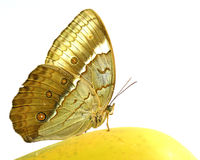 Mariposa de Junglequeen del camboyano que se encarama en la fruta amarilla i del mango Imágenes de archivo libres de regalías