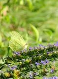 Mariposa de la alfalfa Foto de archivo libre de regalías