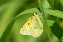 Mariposa de la alfalfa foto de archivo