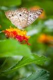 Mariposa de la belleza Imagen de archivo libre de regalías