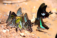 Mariposa de la belleza en la hoja. Fotos de archivo libres de regalías