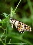 Mariposa de la cal Imagen de archivo libre de regalías