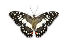 Mariposa de la cal imágenes de archivo libres de regalías