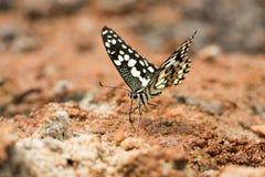 Mariposa de la cal que bebe en la tierra Fotos de archivo