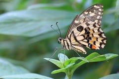 Mariposa de la cal y hoja verde Fotos de archivo libres de regalías