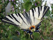 Mariposa de la cola del trago Imagenes de archivo