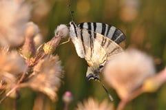 Mariposa de la cola del trago Foto de archivo libre de regalías