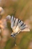Mariposa de la cola del trago Fotos de archivo