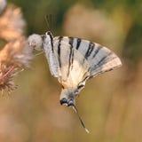 Mariposa de la cola del trago Imágenes de archivo libres de regalías