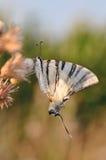 Mariposa de la cola del trago Fotos de archivo libres de regalías