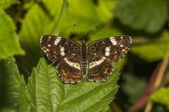 Mariposa de la correspondencia (levana de Araschnia) Fotos de archivo libres de regalías