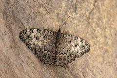 Mariposa de la especie de amphichloe de Hamadryas fotos de archivo