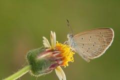 Mariposa de la hierba Imagen de archivo