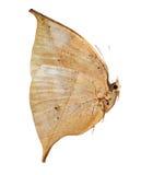 Mariposa de la hoja del roble de Brown Foto de archivo libre de regalías