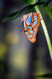 Mariposa de la malaquita Foto de archivo libre de regalías