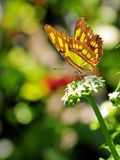 Mariposa de la malaquita Fotos de archivo libres de regalías