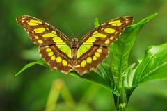 Mariposa de la malaquita en una hoja en selva tropical de la lluvia Foto de archivo