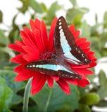 Mariposa de la moscarda Imagenes de archivo