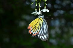 Mariposa de la naturaleza Foto de archivo libre de regalías