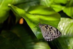 mariposa de la ninfa Foto de archivo