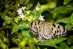mariposa de la ninfa Imagen de archivo