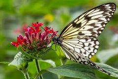 Mariposa de la ninfa del árbol de Malabar en la flor Imagen de archivo libre de regalías